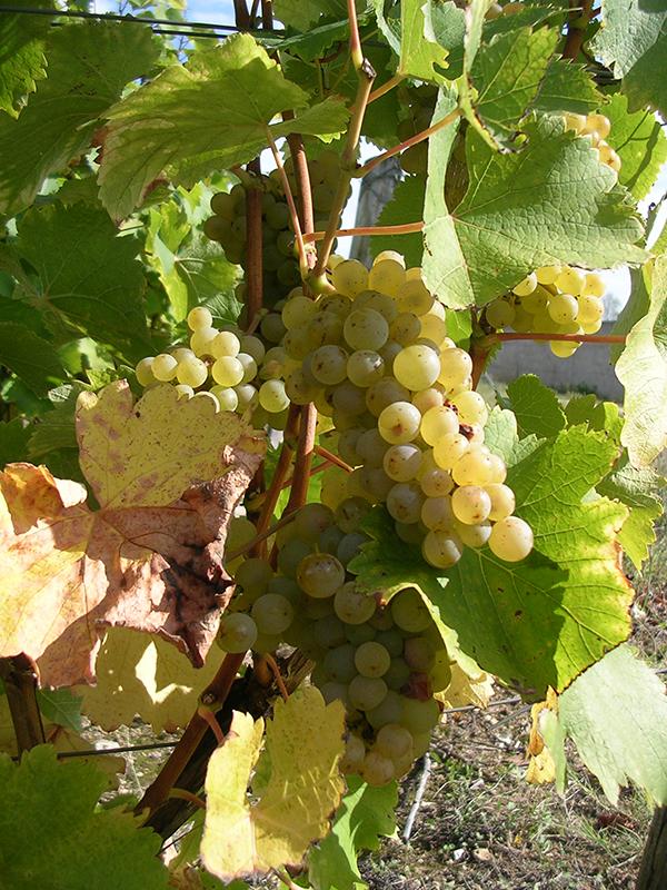 Vigne vin blanc Montlouis-sur-Loire